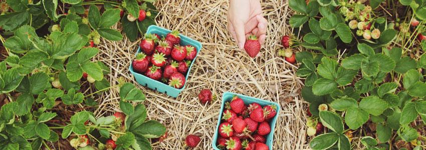 1. Plukk jordbær. Dra til et sted som tilbyr selvplukk av jordbær. Nyt solen, landet og daten. Senere drar dere hjem og lager jordbærsaft, eller en god dessert av jordbærene. Det kommer til å bli superkoselig!